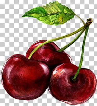 Watercolor Painting Cherry Illustration PNG