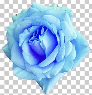 Centifolia Roses Blue Rose Flower Garden Roses PNG