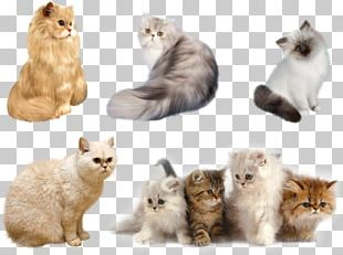 Persian Cat Kitten Havana Brown Aegean Cat Maine Coon PNG