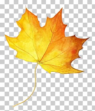 Drawing Maple Leaf Autumn Leaf Color Colored Pencil PNG