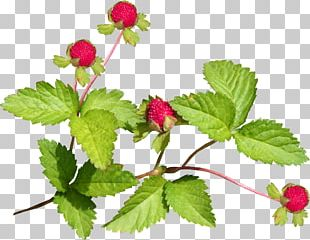 Red Mulberry PNG