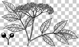 Drawing Elderberry PNG