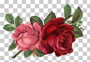 Vintage Roses: Beautiful Varieties For Home And Garden PNG
