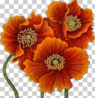 Poppy Watercolor Painting Flower Drawing PNG