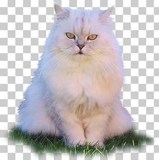 Asian Semi-longhair Persian Cat Ragamuffin Cat Birman Ragdoll PNG