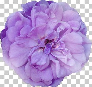 Cabbage Rose Garden Roses Peony Cut Flowers Petal PNG