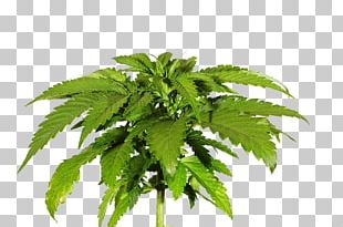Cannabis Sativa Skunk Photography PNG