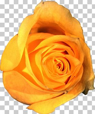 Garden Roses Portable Network Graphics Flower Yellow PNG