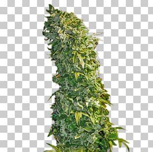 Cannabis Sativa Hemp Feminized Cannabis Seed Kush PNG