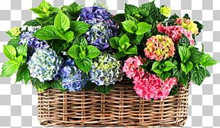 Panicled Hydrangea Flower Inflorescence Perennial Plant Plants PNG