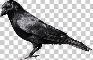 Crow PNG