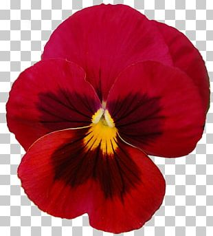 Pansy Violet Flower Red PNG