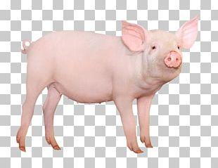 Large White Pig Miniature Pig Stock Photography Desktop PNG