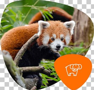Red Panda Giant Panda Endangered Species Koala Cuteness PNG