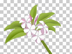 Cut Flowers Frangipani Drawing PNG