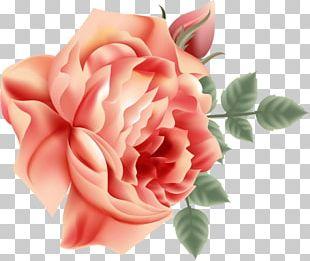 Garden Roses Centifolia Roses Cut Flowers Petal PNG