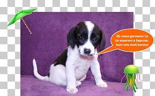 Drentse Patrijshond English Springer Spaniel Puppy Dog Breed Companion Dog PNG