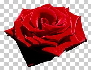 Rose: Poems Flower Poetry Garden Poems PNG