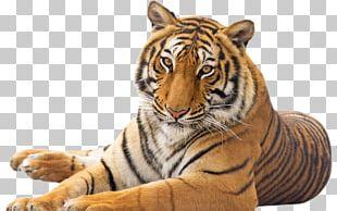 Tiger Cat Emotional Intelligence PNG