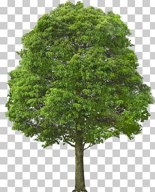 Acer Campestre Tree Shrub Stock Photography Pruning PNG