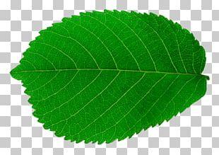 Look At Leaves Leaf Tree PNG