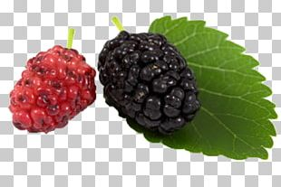 Black Mulberry White Mulberry Blackberry Aronia Melanocarpa PNG