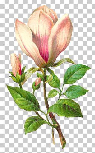 Flower Botany Botanical Illustration PNG