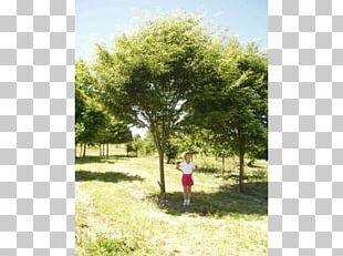 Shade Tree American Sycamore Erythrina Coralloides Evergreen PNG