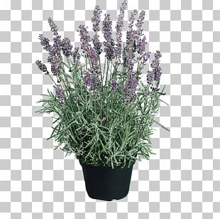 English Lavender Hidcote Manor Garden Perennial Plant Seed Flower PNG