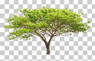 Tree Leaf Euclidean Branch Plant PNG