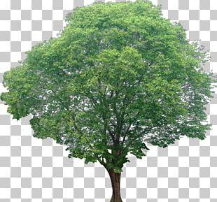 Acer Ginnala Red Maple Tree Shrub PNG