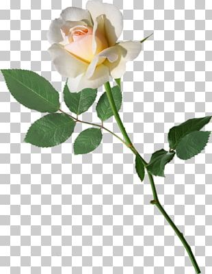 Garden Roses Cabbage Rose Cut Flowers Bud Plant Stem PNG