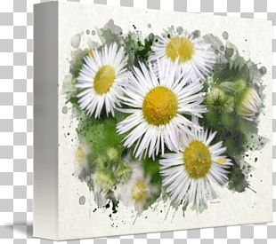 Common Daisy Floral Design Watercolor Painting Art PNG