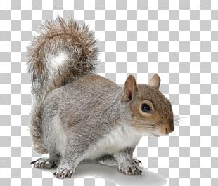 Douglas Squirrel Rodent American Red Squirrel Eastern Gray Squirrel PNG