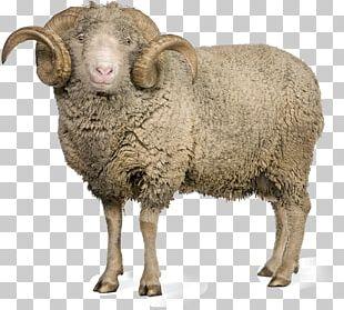 Merino Norwegian Red Goat Wool Allbirds PNG