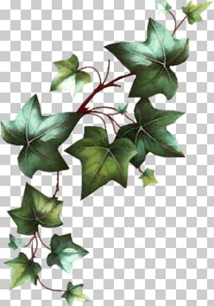 Common Ivy Vine Cut Flowers Leaf PNG