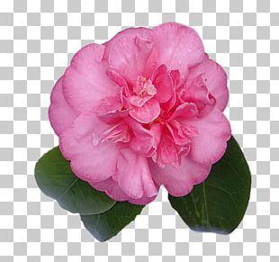 Digital Scrapbooking Embellishment Japanese Camellia PNG