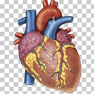 Stock Photography Heart Gross Anatomy Human Body PNG