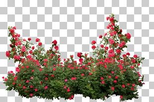 Garden Roses Memorial Rose Shrub Flower PNG