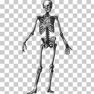 Human Skeleton Bone Human Body Homo Sapiens Anatomy PNG