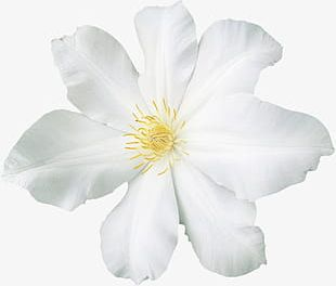 Painted White Flowers PNG