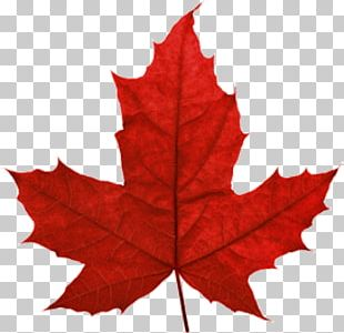 Maple Leaf Portable Network Graphics Canada PNG