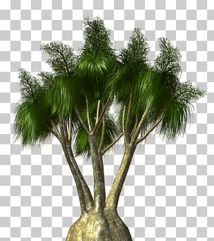 Asian Palmyra Palm Arecaceae Tree Flowerpot Shrub PNG