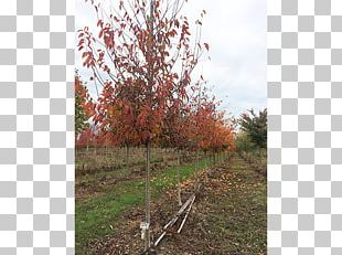 Branch Sugar Maple Tree Nursery Deciduous PNG