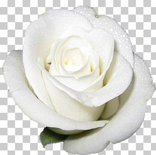Cut-flower Roses White PNG