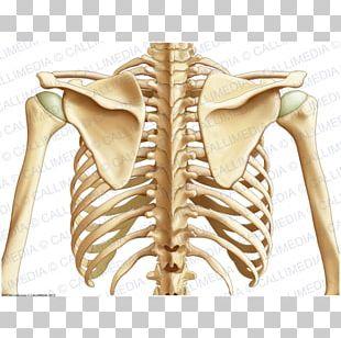 Organ Bone Thorax Human Anatomy PNG