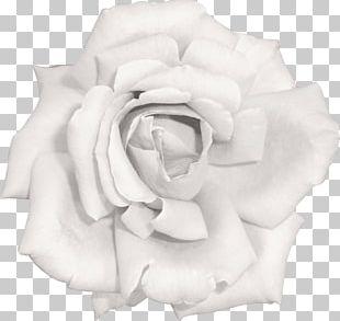 Garden Roses Flower Beach Rose Pink White PNG