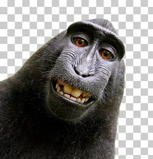 Celebes Crested Macaque Monkey Selfie Photographer People For The Ethical Treatment Of Animals PNG