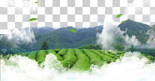 Green Tea Leaf Tea Culture PNG
