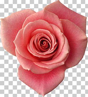 Beach Rose Flower Red Petal Yellow PNG